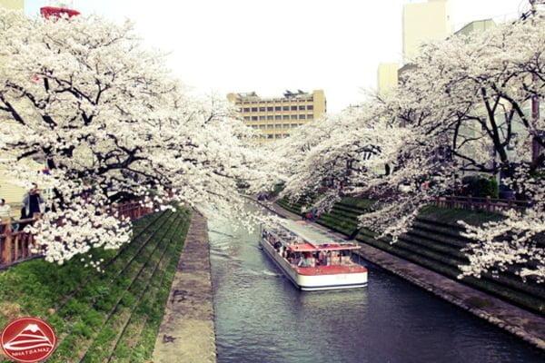Hoa Anh Đào ven sông Matsukawa