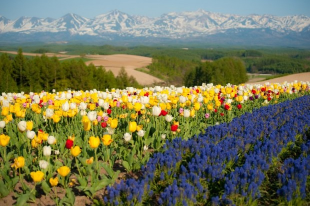 Núi Tokachi Ranges và Hoa tulip vào mùa xuân, Shikisai-no-Oka