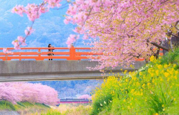Ngắm hoa anh đào nở sớm dọc sông Kawazu