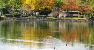 Đôi chim bơi lội ở hồ trong công viên Hiroshima