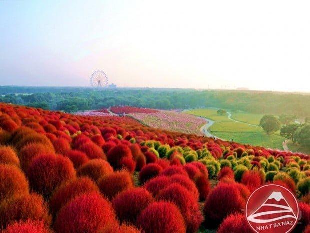 Thiên đường hoa Hitachi