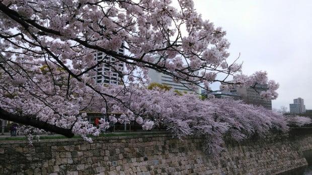 Osaka tuyệt đẹp trong mùa hoa anh đào