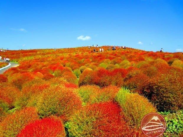 Hoa Kochia - Thiên đường hoa Công viên Hitachi