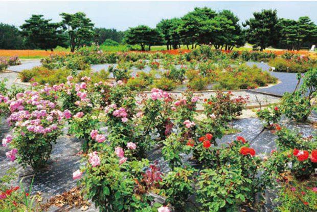 rose-hoa-hong