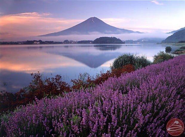 Oải hương và núi Phú sĩ
