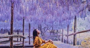 Săn hoa Tử Đằng tại xứ Phù Tang : Mùa lễ hội hoa Tử Đằng