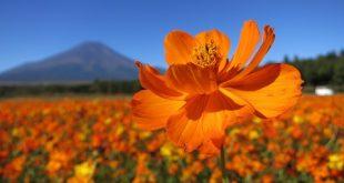 Công Viên Hoa Hồ Yamanaka – Chiêm ngưỡng biển hoa tuyệt đẹp cạnh Núi Phú Sĩ
