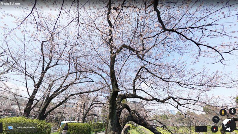 Ngắm hoa anh Đào từ xa tại Công viên Chidorigafuchi
