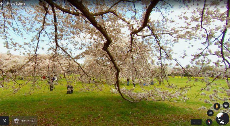 Ngắm hoa anh đào tại công viên Showa Kinen Koen